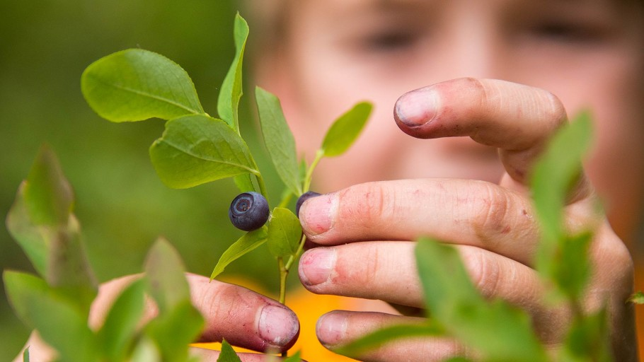 Huckleberry Picking in Jackson Hole