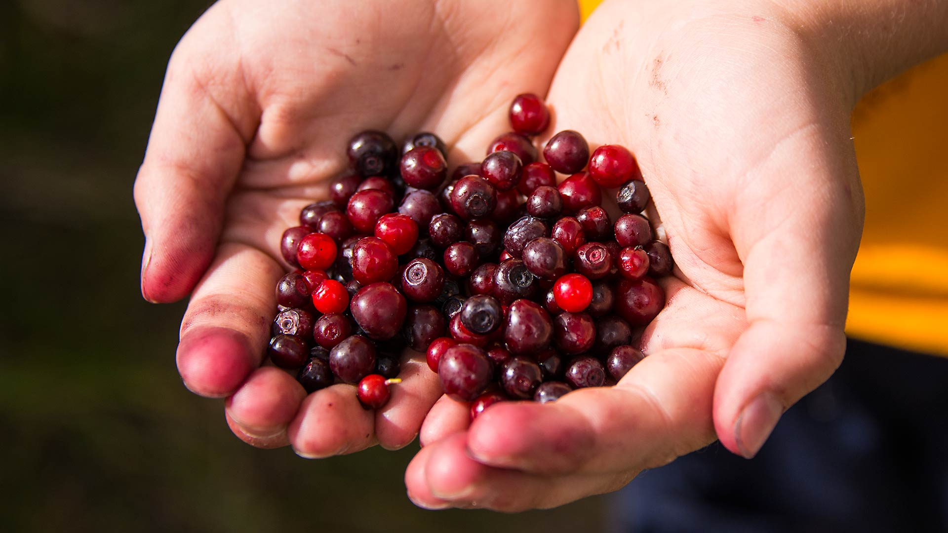 huckleberry-picking-jacksonhole