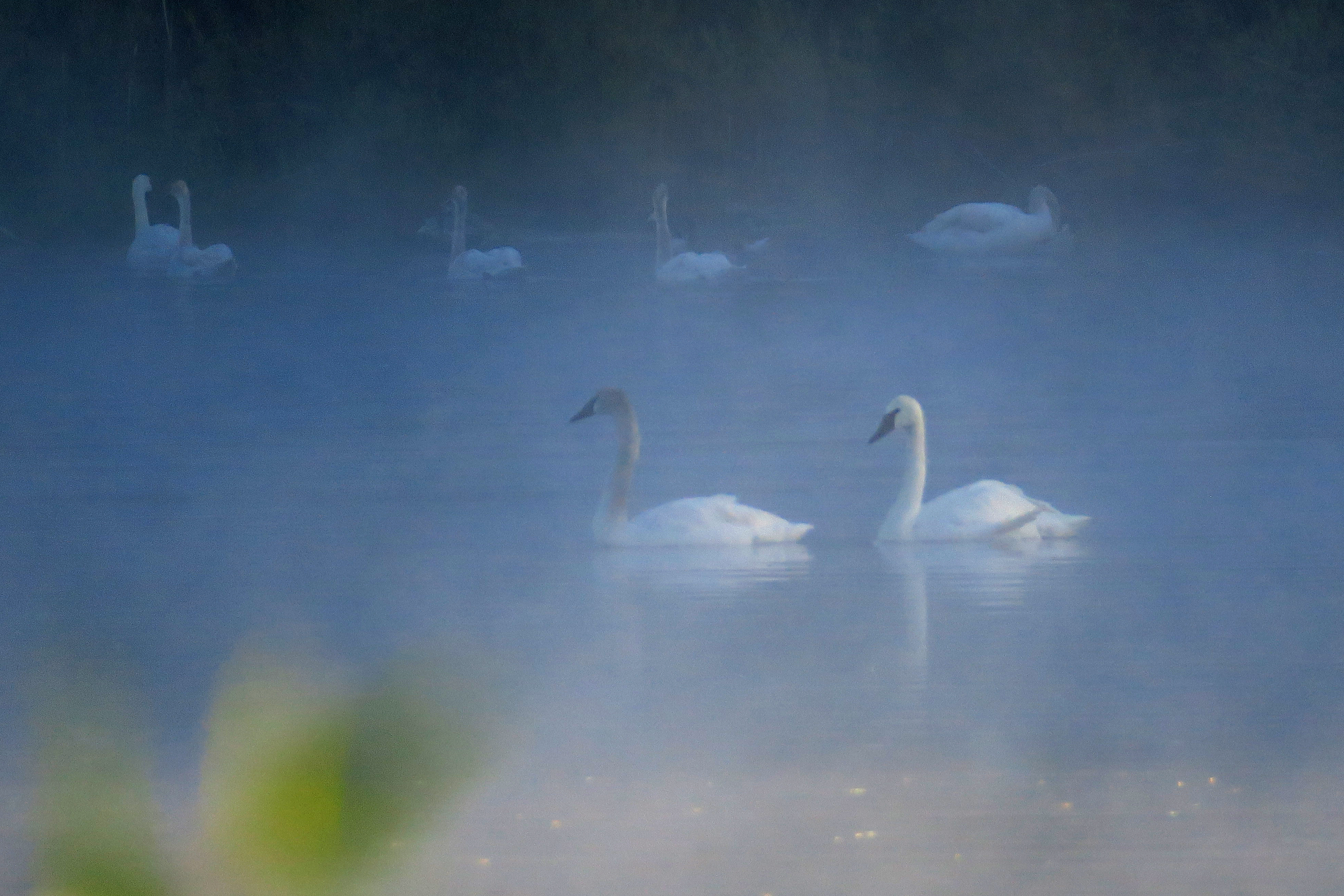 Trumpeter Swans - Indian Springs Ranch