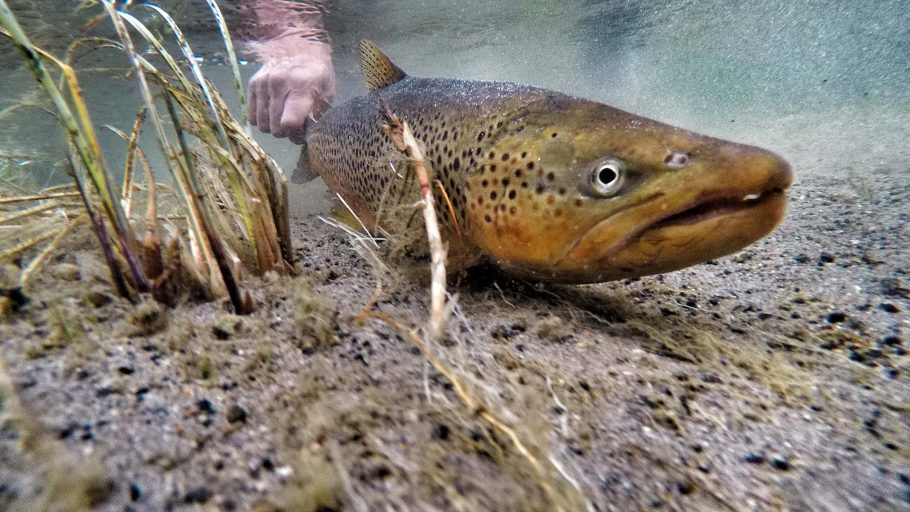 Brown Trout-Fly-Fishing-Lewis-Channel-Yellowstone-National-Park