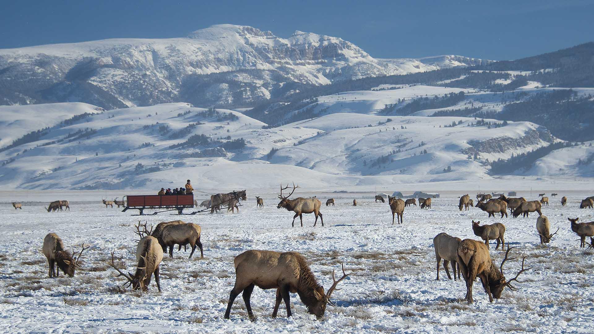 Jackson Hole Elk Refuge Sleigh Ride