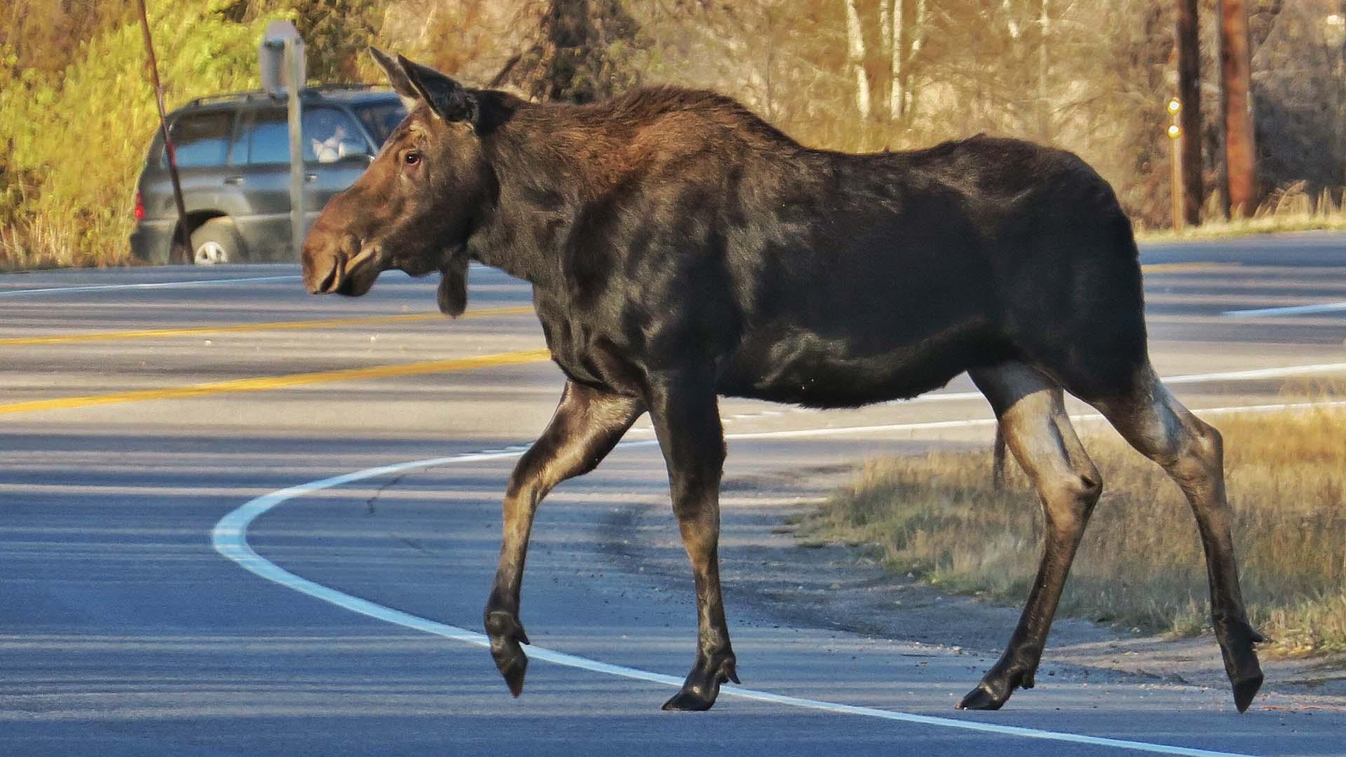 Jackson Hole Wildlife - Moose