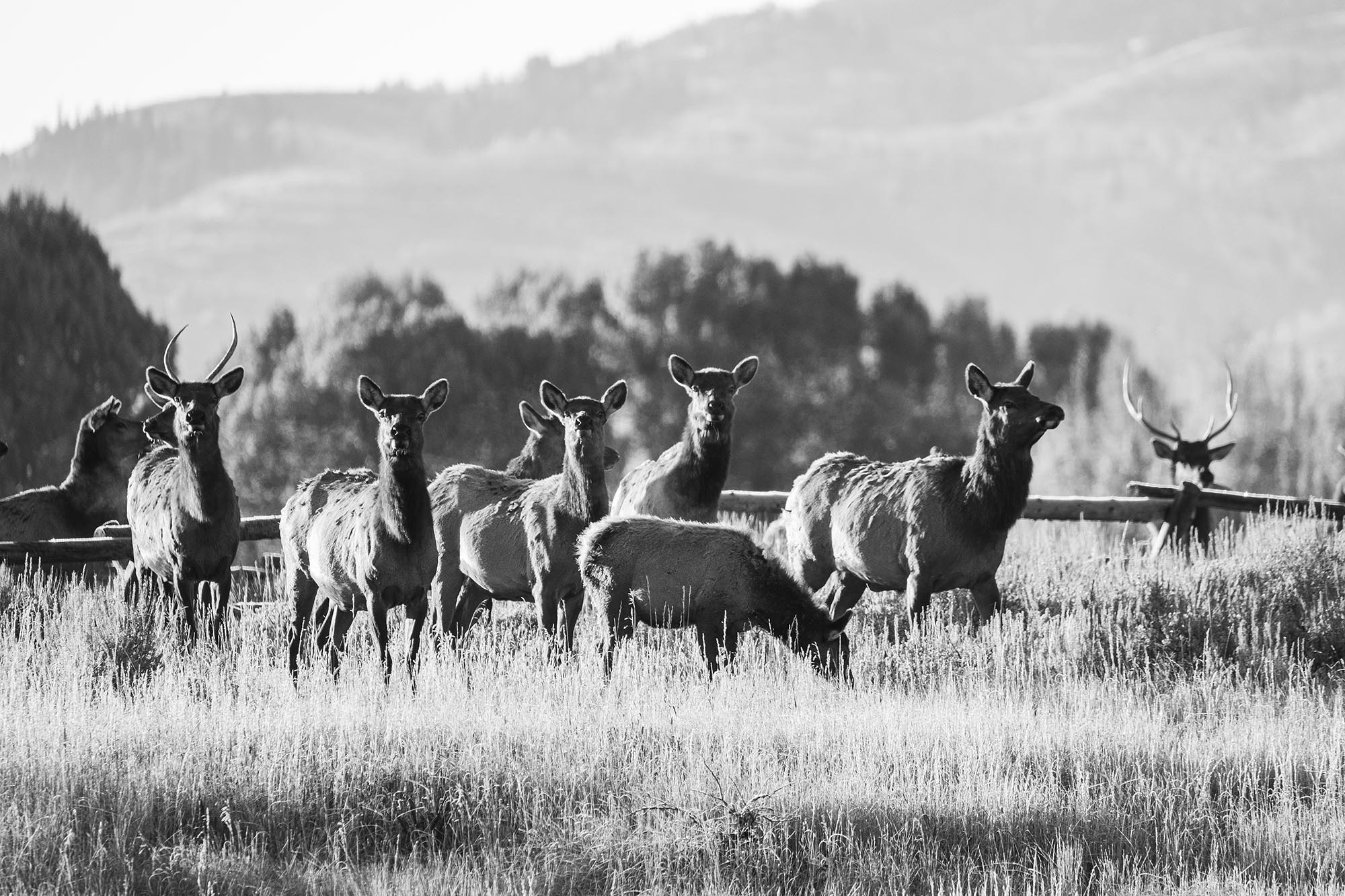 Elk Herd at the Cody Creek Ranch, Jackson Hole Wyoming Real Estate