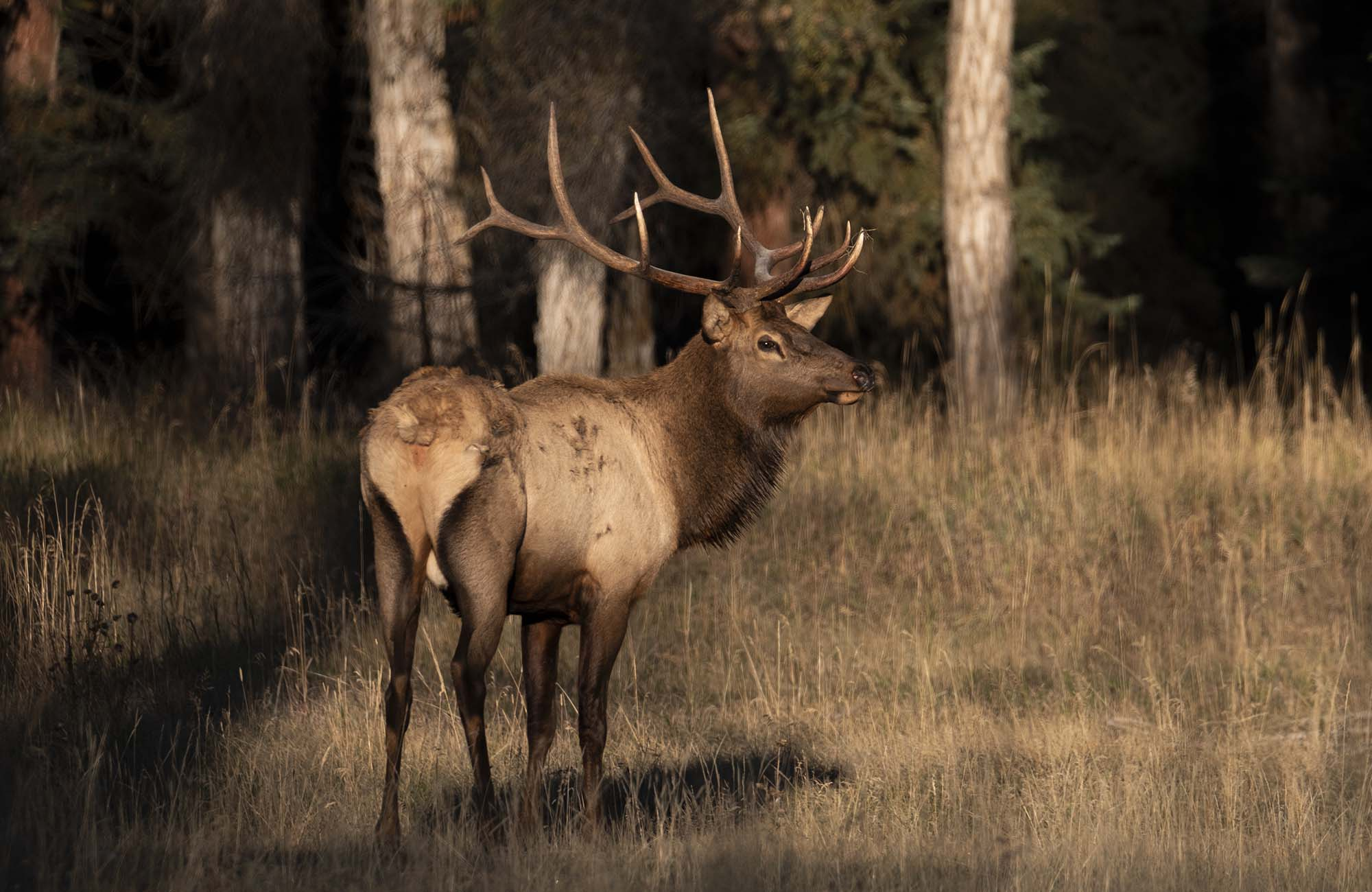 Fall Elk Rut - Bar-B-Bar Ranches - Jackson Hole Real Estate