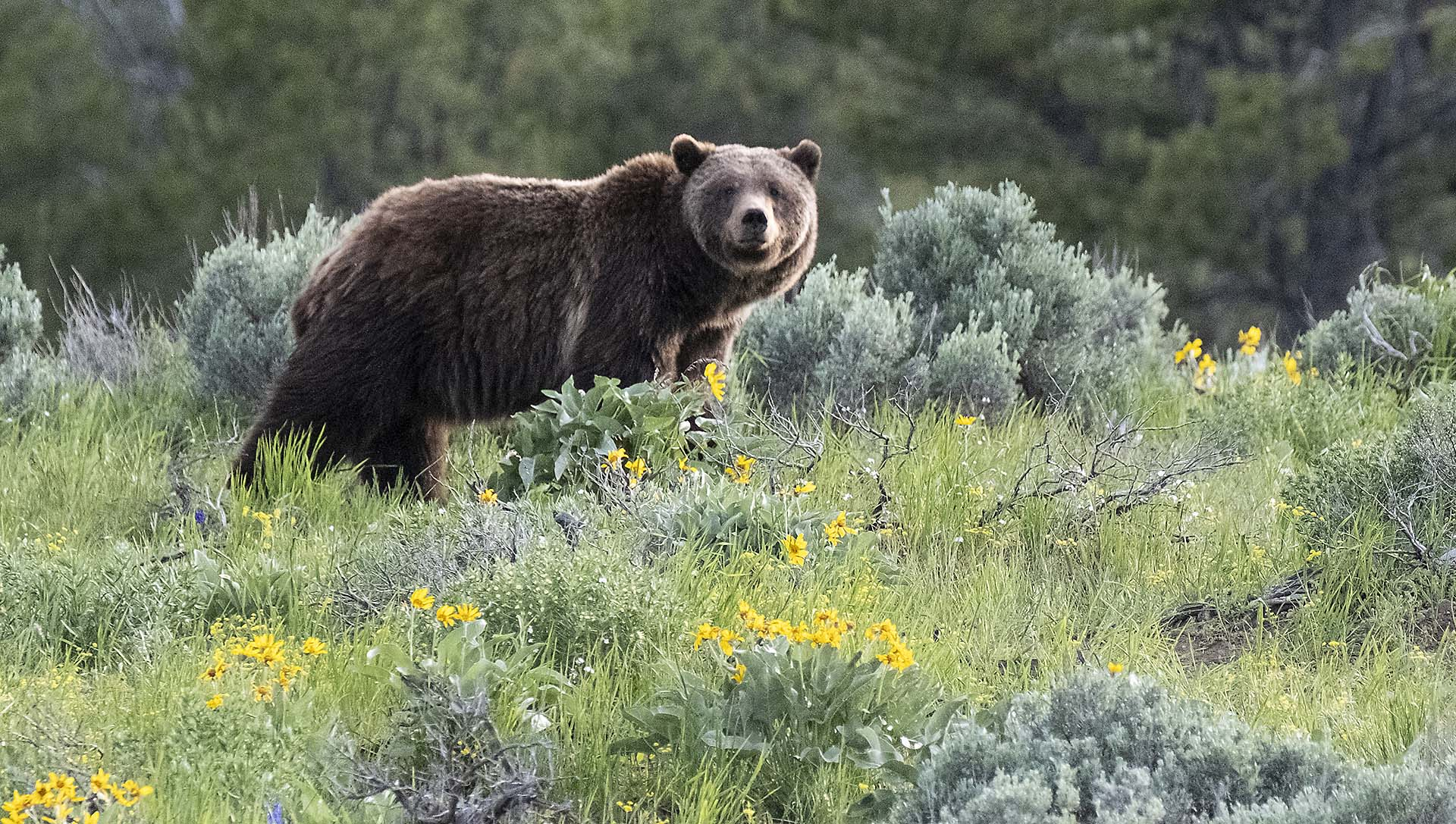 Grizzly Bear 399 in Grand Teton National Park