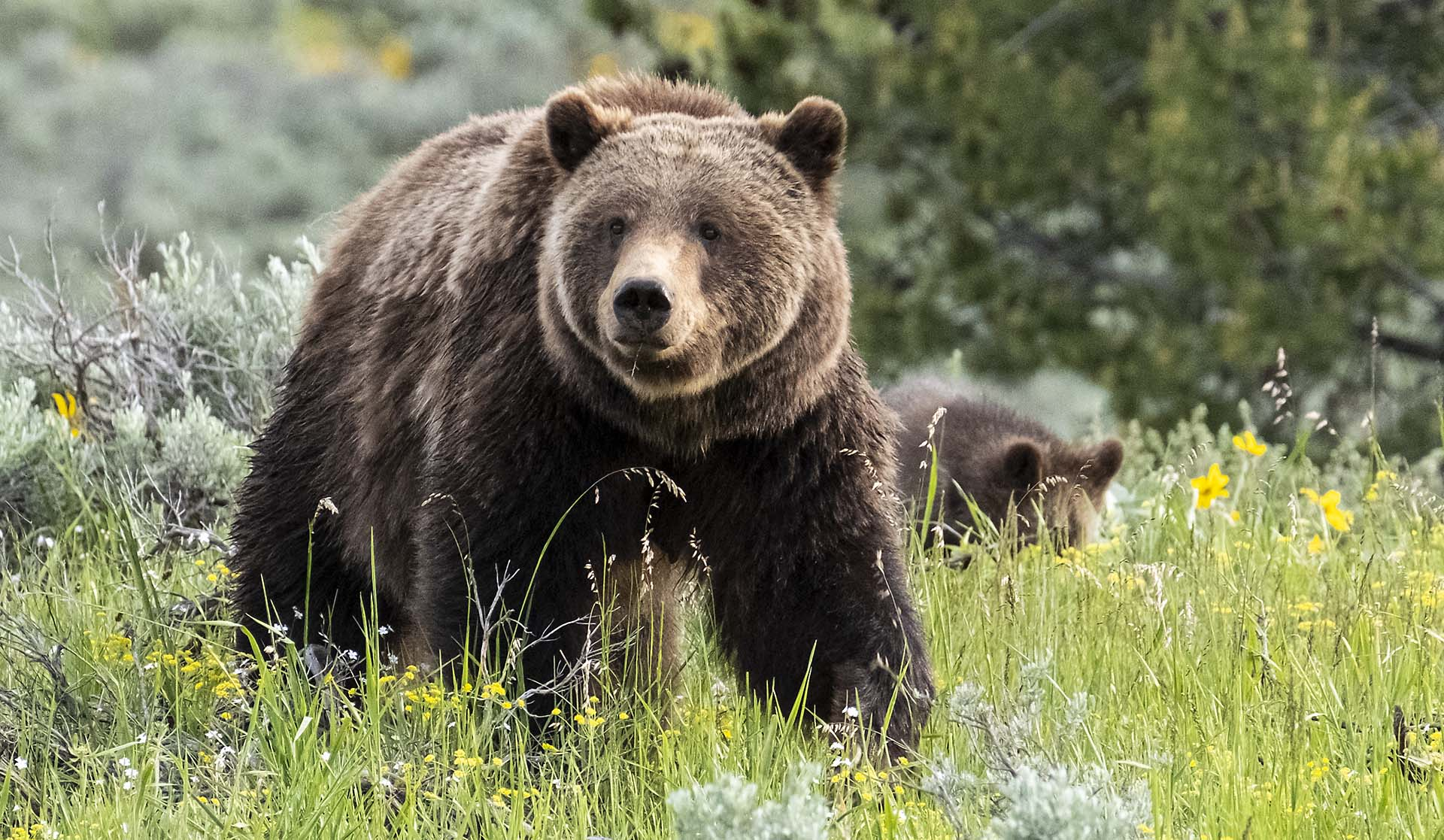 Grizzly Bear 399 with her Cub, Grand Teton National Park