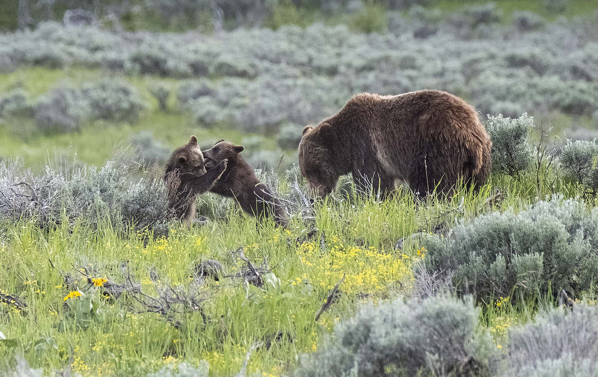 Grizzly Bear 399 with her Cubs, Grand Teton National Park